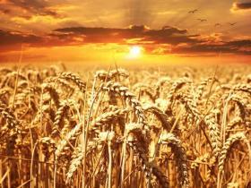 7,5  millió tonna a nyári gabonatermés Magyarországon!
